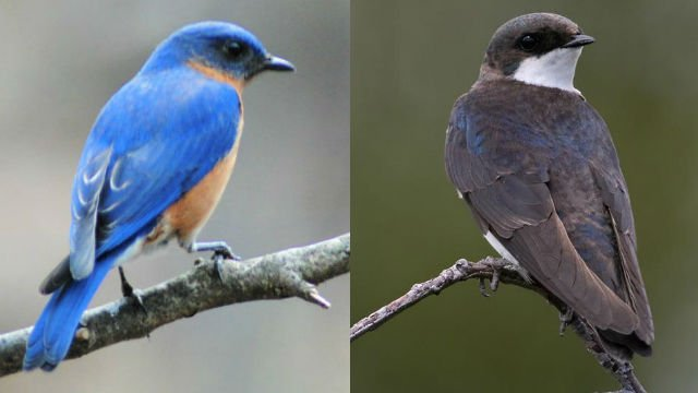 Left, eastern bluebird, right tree swallow