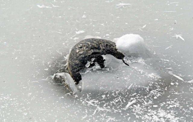 Nariz de cocodrilo asomándose en el medio del hielo.