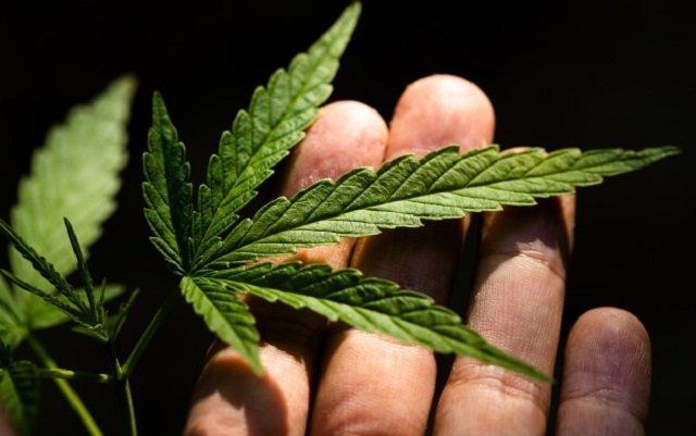 Mano sosteniendo una planta de cannabis.
