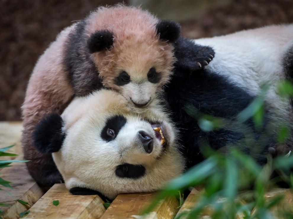 Panda Huan Huan y su primer hijo Yuan Meng.