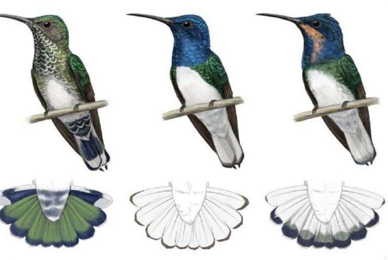 Comparación de los colores de los machos y hembras colibríes.