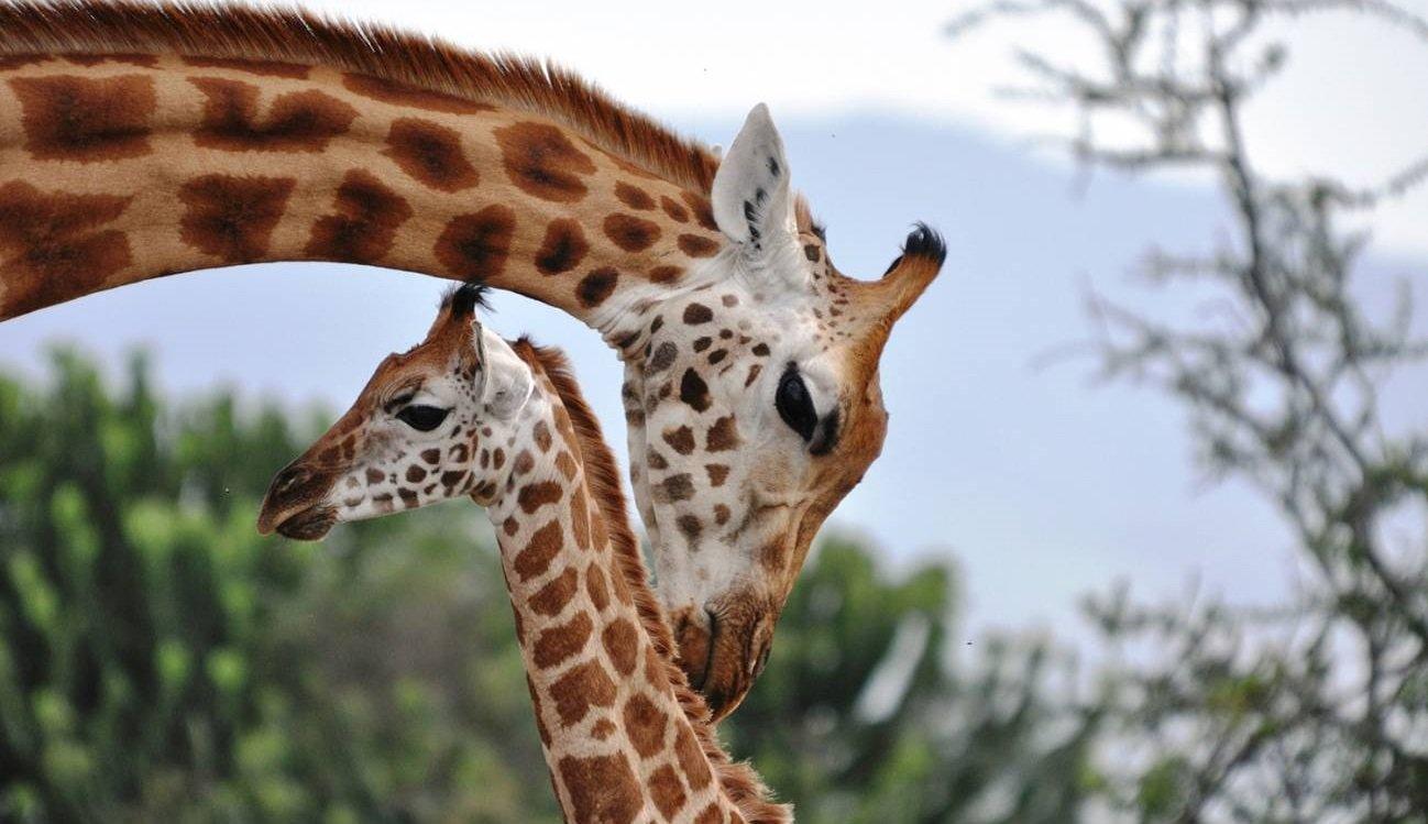 Una jirafa mayor cerca de una cría en referencia a la hipótesis de la abuela.
