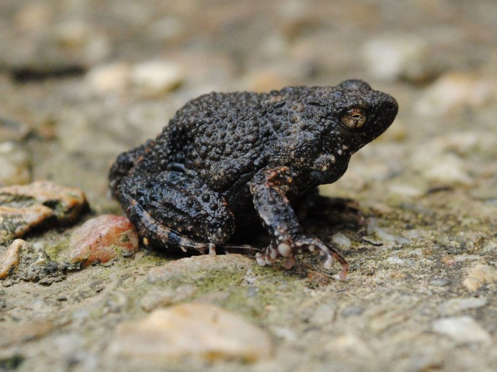 Túngara Frog capable of producing a foam useful for administering drugs on human skin.